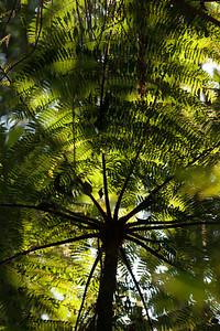 Tree Fern, Tintaya Plot Expedition, Madidi, Bolivia