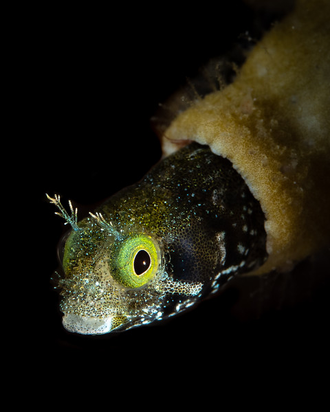 Rough Head Blenny