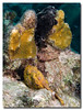 Can you see the two Frogfish?
