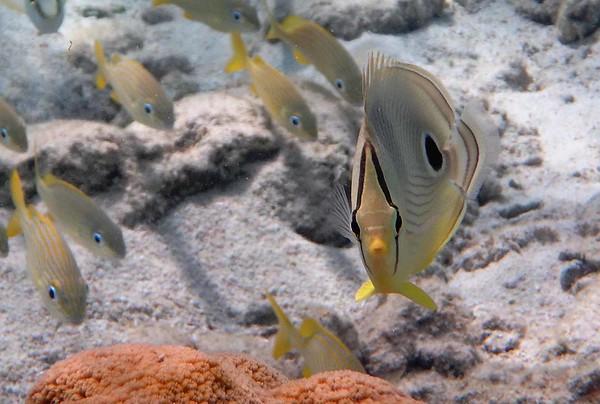 Foureye Butterflyfish -- Chaetodon capistratus