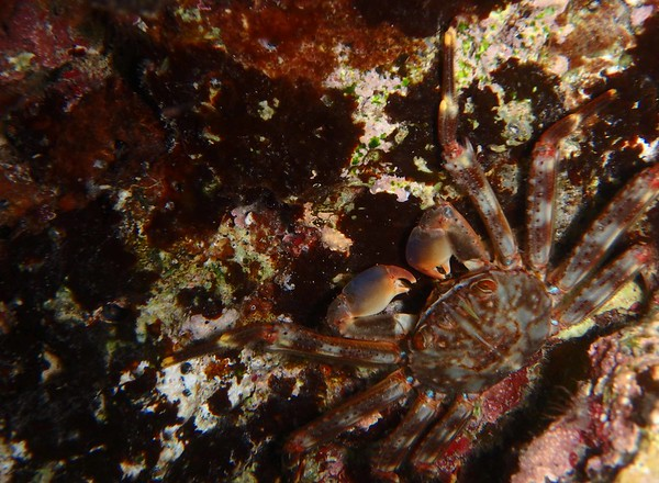 Clinging Crab -- Mithrax spp.