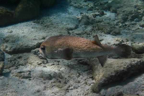 Porcupinefish -- Diodon hystrix