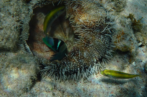 some Blueheads -- Thalassoma bifasciatum, examining the test of an urchin