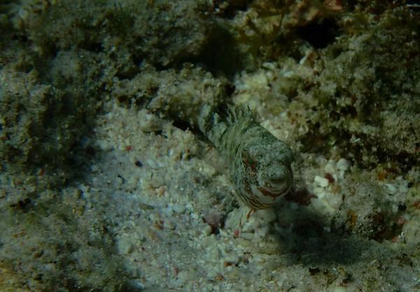 juvenile Bucktooth Parrotfish -- Sparisoma radians, seem to have a variety of looks