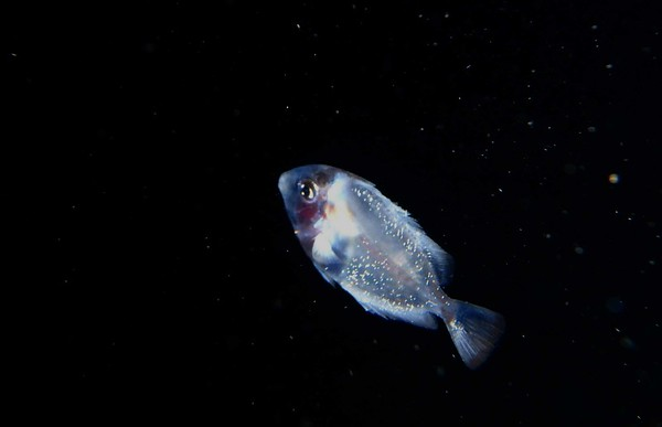 i think this is a post-larval Blue Tang