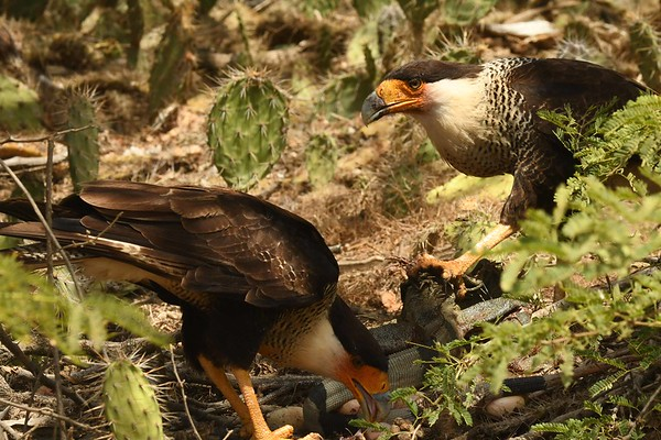 An adult Green Iguana is a significant kill for a pair of Crested Caracaras...