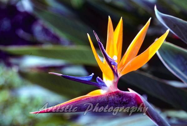 Birds Eye of Paradise
