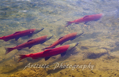 Salmon Swimming Up Stream