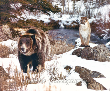 Grizzly with Cougar