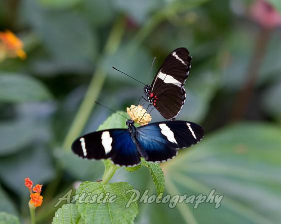 Butterflier