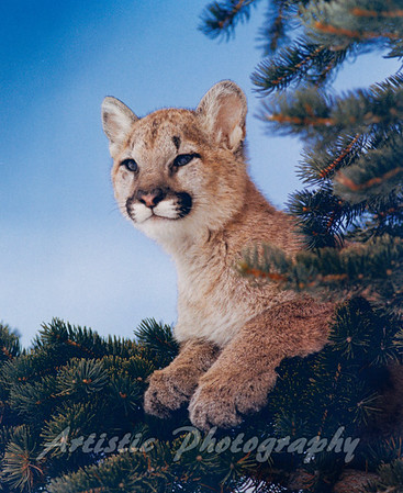 Young Cougar in tree