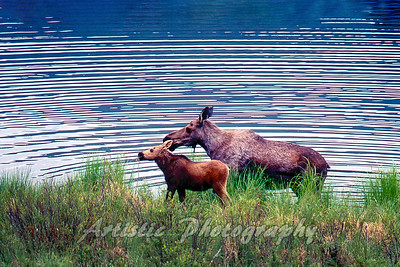 Mother Moose with Child
