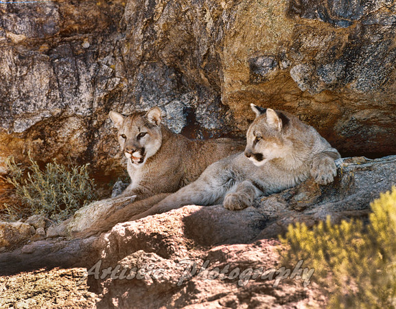 Young Cougars Hanging Out