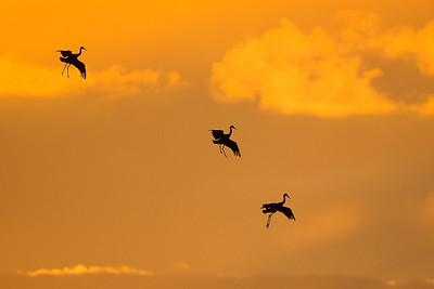 Trio of sandhill cranes preparing to land right at sunset.