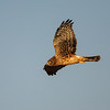 Marsh hawks are one of the manyh species of raptors speiding their wingers at Bosque.