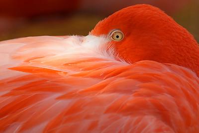 Early morning llight on a restinlg flamingo.