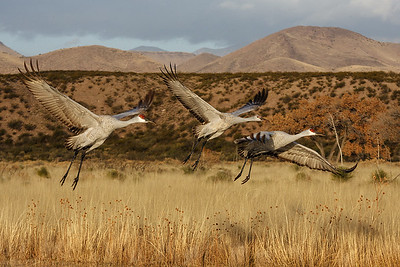 Small family of cranes against the New Mexico desert backdrop.