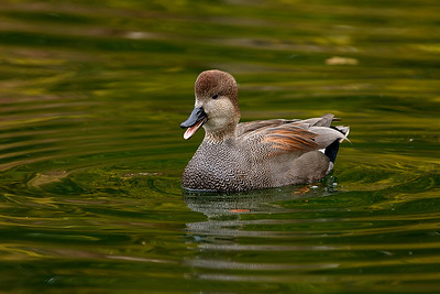 Gadwall in the reflective green water.