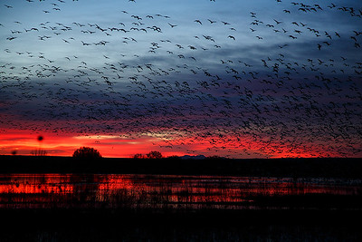 Thousands of snow geese lift off in the early morning light.