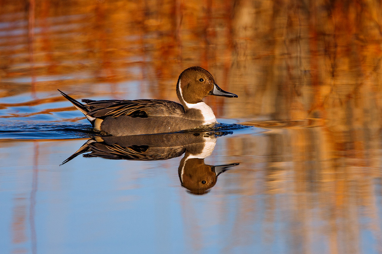 One of the many thousands of pintail ducks at Bosque.