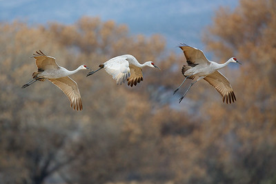Predawn trio of sandhill cranes setting their wings to land in a corn field.