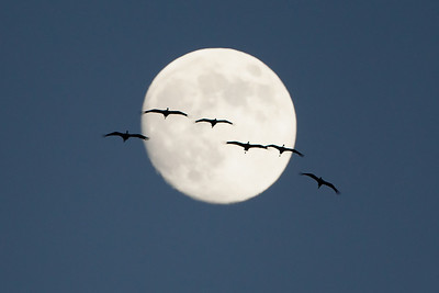 A lucky shot of sandhill cranes flying in front of the full moon.