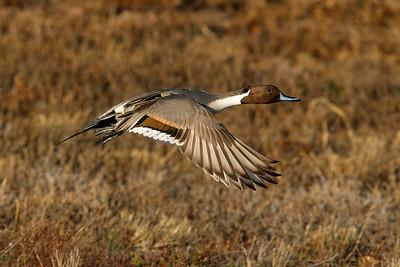 Tens of thiousands of ducks, such as thie Pintail, inhabit Bosque del Apache.