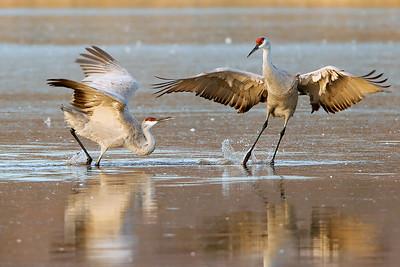 A pair of sandhill cranes have a territorial dispute.