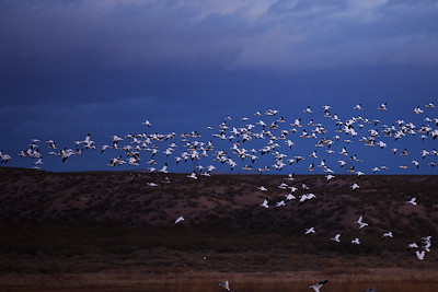 Dark skies and help the flying geese standout as they leave their pond.