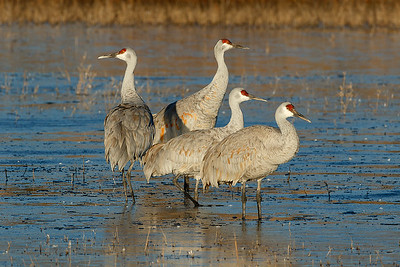 A family of sandhill cranes relaxing in their nighttime roots.