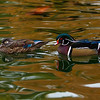 Pair of wood ducks floating in the unsual colored water.