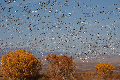 Snow geese form huge flocks at Bosque del Apache.