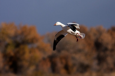 Landing snow goose.