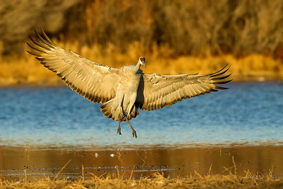 Just at dusk a sandhill crane lands in the shallow water nighttime roost.