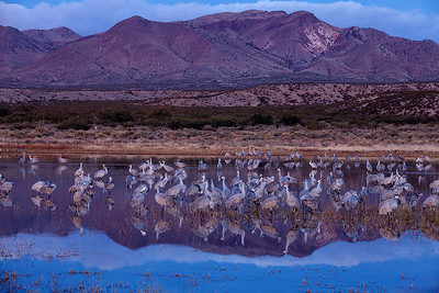 Predawn image of sandhill cranes in  their nightly roost.