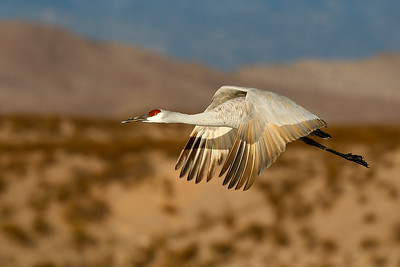 Another flying sandhill cfane in the early morning lilght.