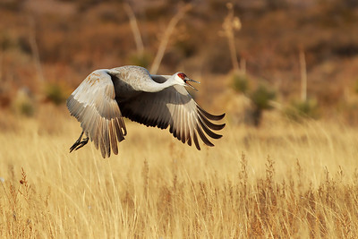 Just after taking off from its nighttime water roost a sandhill crane makes an eirie call.  .