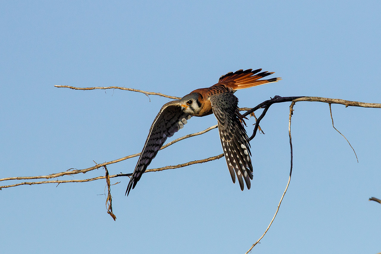 Raptors such as this American Kestral are abundant at Bosque del Apache.