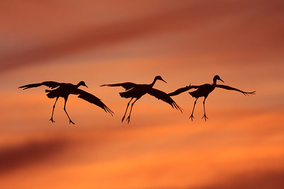Trio of cranes floating in the sunset preparing to land.