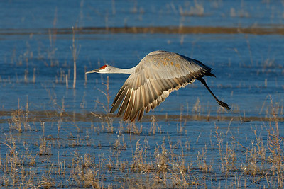Sandhill crane just after takeoff from its roost lake.