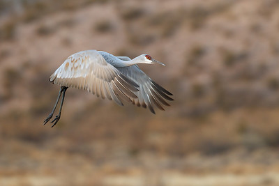 Just prior to sunrise a sandhill crane leaves its nighttime roost.