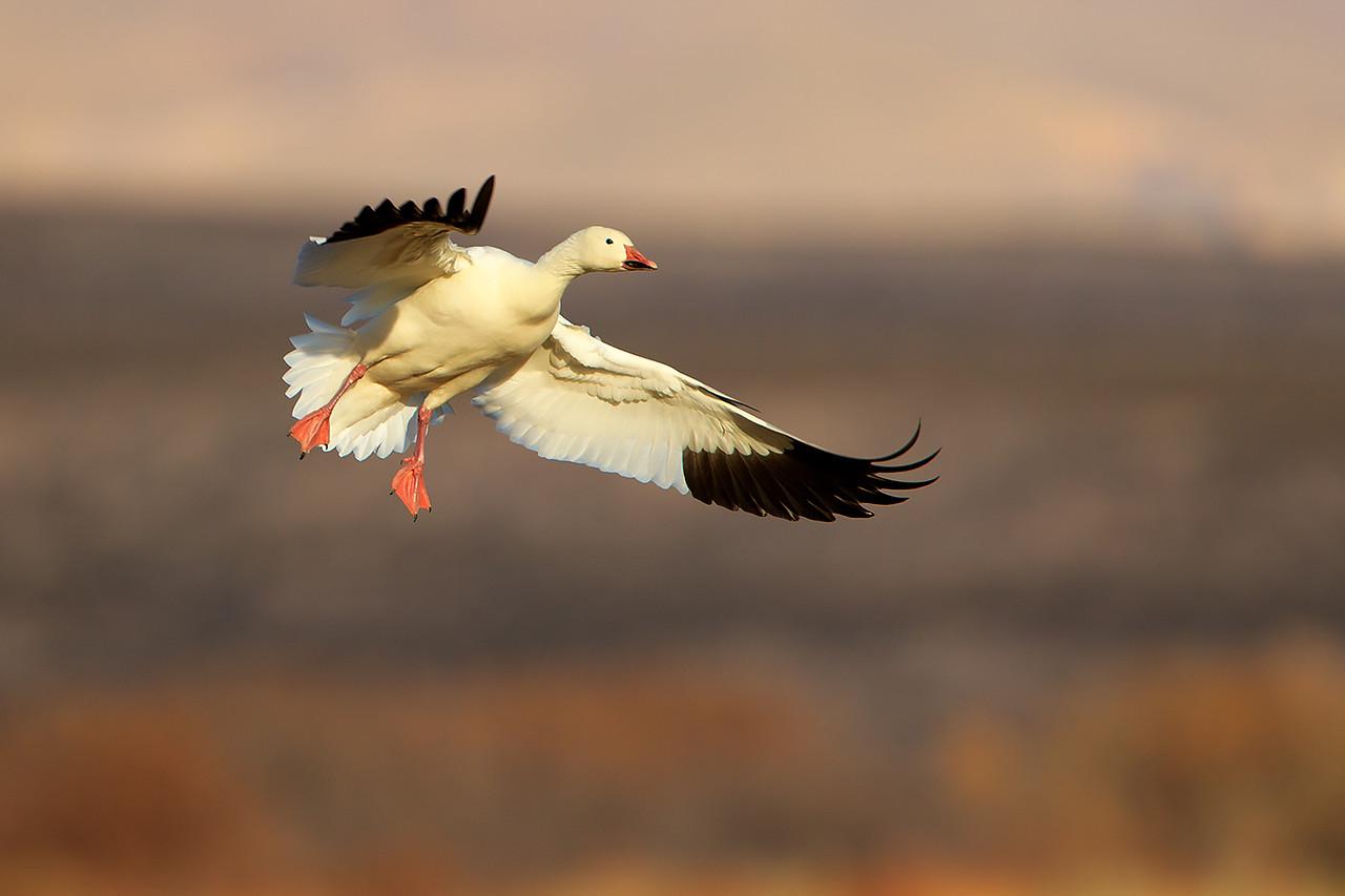 Snow goose preparing to land.