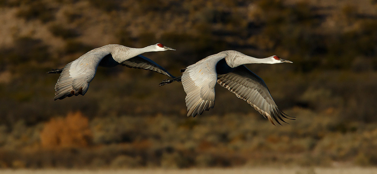 A pair of sandhill cranes fly over the desert of Central New Mexico in the early morning sun.