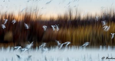 Snow Geese Sunrise Flight