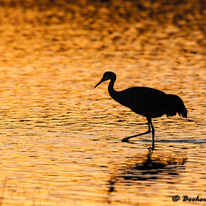 Sandhill Crane at Bosque del Apache
