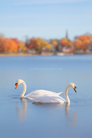 Two Swans in Fall, Jamaica Pond Boston Massachusetts