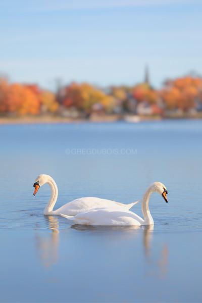 Two Swans in Fall, Jamaica Pond Boston Massachusetts