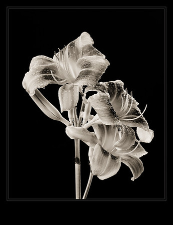 Three Lillies