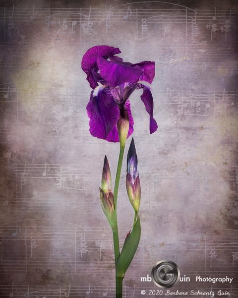 Fleur-de-Iris