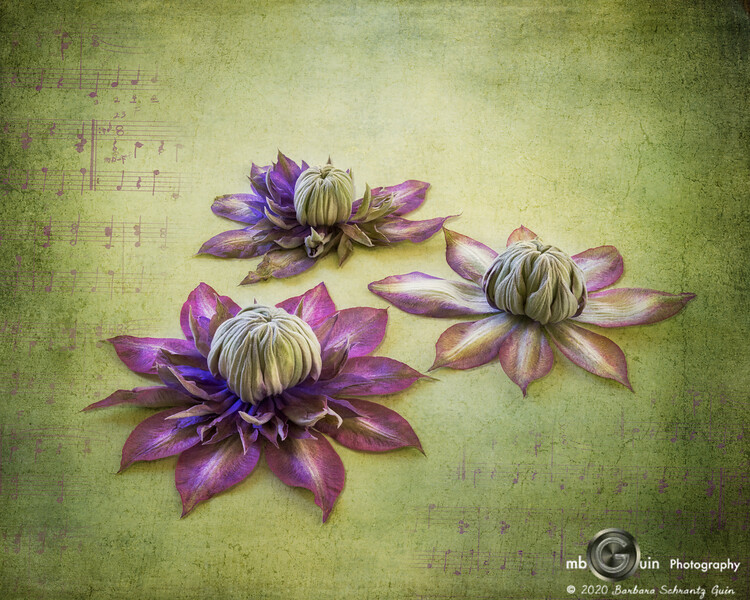 Clematis in Triple Time